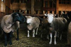 Gali Sheep Farm, Island Weddings, Animals, Animales, Animaux, Animal, Animais