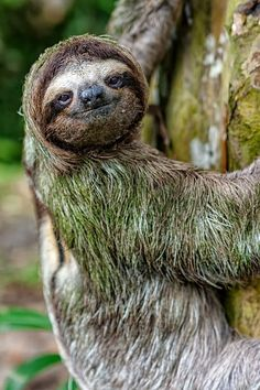 Oso perezoso / sloth Photo by Alejandro Montiel – National Geographic Your shot - Best Adorable Animals Cute Sloth Pictures, Sloth Photos, Animal Pictures, Nature Animals, Animals And Pets, Baby Animals, Baby Giraffes, Wild Animals, Cute Baby Sloths