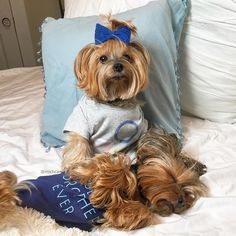 i'm a yorkie ᴸᴼvᴱᴿ Cute Puppies, Cute Dogs, Dogs And Puppies, Doggies, Animals And Pets, Cute Animals, Pretty Animals, Yorkie Puppy, Chihuahua
