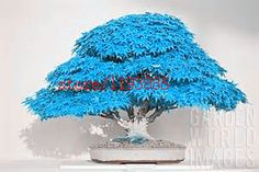 Cheap plants for homes, Buy Quality maple tree seeds directly from China maple seeds Suppliers: bonsai blue maple tree seeds Bonsai tree seeds. Balcony plants for home garden Bonsai Maple Tree, Maple Tree Seeds, Climbing Clematis, Clematis Vine, Plantas Bonsai, Bonsai Plants, Bonsai Garden, Bonsai Trees, Unusual Plants