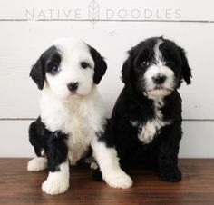 23 Best Sheepadoodle Puppies images in 2019 | Sheepadoodle