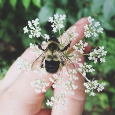 "among-conifers: "" Saved another cutie from the wet pavement yesterday. I just love bees. Look at those little legs. "" ♡"