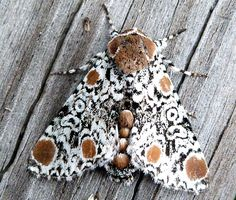 Harris' Three Spot moth is part of the Noctuidae family, the largest in the order Lepidoptera.