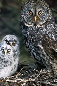 Grey Gray Owl and Owlets