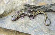Green Salamander (Aneides aeneus).