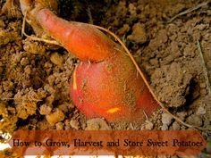 Learn how to grow sweet potatoes! They are pretty easy- a plant it and forget it crop with a big yield and good for storing