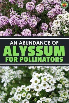 Sweet alyssum is a powerful pollinator lure that brings all the bees to your yard. This spectacular plant is a must-grow flowering superstar! Alyssum Flowers, Lavender Flowers, White Flowers, Beneficial Insects, Edible Garden, Drought Tolerant, Homesteading, Perennials, Bees