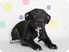 Bullmastiff/Pit Bull Terrier Mix Dog for adoption in Modesto, California - *BLACK JACK