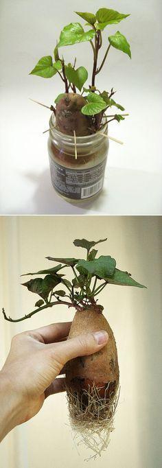 Alternative Gardning: how to grow sweet potato plants