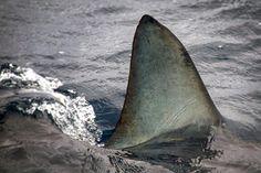 Mako Shark Attacks On Humans | ... known to attack humansAll photos: Splash/All Over Press mako_shark