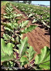 Sosnicki's eggplants just a growin' away!!