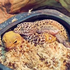 Geckos are extremely fertile and a female can create plenty pairs of eggs in 1 season Lepord Gecko, Leopard Gecko Cute, Cute Gecko, Cute Reptiles, Reptiles And Amphibians, Funny Lizards, Pet Lizards, Reptile Cage, Reptile Enclosure
