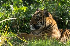 Terima the Sumatran tiger 2015 @AnnasWelshZoo picture by Simon Kirby
