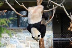 Mei Xiang in a tree   Mei Xiang hanging updisde-down 0330 cd…   Craig Salvas   Flickr