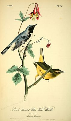 n117_w1150 by BioDivLibrary on Flickr.    The birds of America :.  New York :J.B. Chevalier,1840-1844..