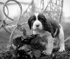 Birddoghill English Springer Spaniel Puppy