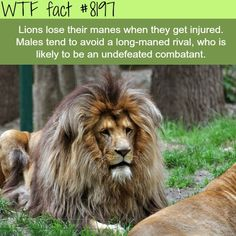 WTF Fun Facts is updated daily with interesting & funny random facts. We post about health, celebs/people, places, animals, history information and much more. New facts all day - every day! Humor Mexicano, Wtf Fun Facts, Random Facts, Strange Facts, Crazy Facts, Funny Facts, Fun Facts About Lions, Bizarre Facts, True Facts