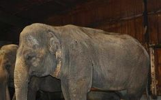 Elephants Beaten and Electroshocked for Circus