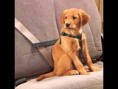 Petsmart keep your pet secure. With a dog seat belt of car harness from petsmart, he can ride safely no matter where you're g. Dog Car Seat Belt, Dog Belt, Big Dogs, Small Dogs, Online Pet Store, Dog Safety, Seat Belts, Pet Travel, Dog Harness