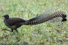 aves liras - Buscar con Google