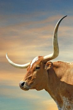 Big Horns Art Print By Robert Anschutz Gift Giving Cow - Big Horns Canvas Print By Robert Anschutz All Canvas Prints Are Professionally Printed Assembled And Shipped Within Business Days And Delivered Ready To Hang On Your Wall Longhorn Rind, Longhorn Cow, Longhorn Cattle, Cow Pictures, Bull Cow, Gado, Cow Painting, Cow Art, Le Far West