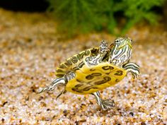 Ornate Red Ear Turtle, Chrysemys Scripta Elegans, Native to Southern Us-David Northcott-Photographic Print Red Ear Turtle, Tiny Turtle, Turtle Love, Pet Turtle Care, Red Eared Slider Turtle, Animals Beautiful, Cute Animals, Tortoise As Pets, Your Spirit Animal