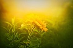 """Thomas Merton: """"Song for Nobody"""" A yellow flower (Light and spirit) Sings by itself For nobody. A golden spirit (Light and emptiness) Sings without a word By itself."""