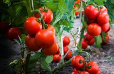 Growing Tomatoes Indoors, Growing Tomatoes From Seed, Growing Tomato Plants, Growing Tomatoes In Containers, Growing Vegetables, Grow Tomatoes, How To Plant Tomatoes, Freezing Tomatoes, Marinated Tomatoes