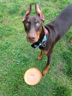 Doberman puppy loves frisbee! #Doberman