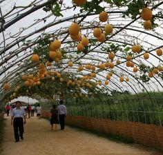 Tunnel of gourds... - Homestead Survivalist Forum