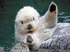 If I believed that reincarnation was a thing, I would totally want to be a sea otter. Or maybe a river otter. I don't really care! All otters just look like they are always having fun! Cute Otter, Otter Love, Otter Pup, Cute Baby Animals, Animals And Pets, Funny Animals, Animals Sea, Animal Babies, Baby Sea Otters