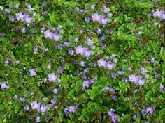 Veronica 'New Century' is a favorite in my yard. This Speedwell provides year-round interest with a carpet of evergreen foliage, smothered with little blue flowers in spring and bronze foliage in winter. This durable groundcover is drought tolerant and deer resistant. Zones 6-10