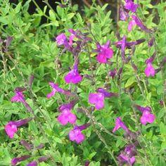 Salvia greggii 'Purple Pastels'