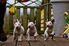 #Bull #terrier joy of life :))))