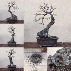 Mis bonsais y mis aficiones: Roble_4 sigue.....
