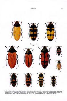 Stigmodera (Castiarina) (Coleoptera: Buprestidae): taxonomy, new species and a checklist - BioStor