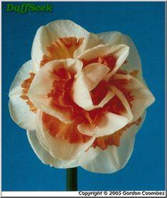 Detail Page – DaffSeek Daffodils, Detail, Daffodil