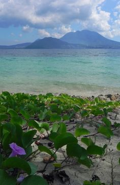 Cockleshell Beach, St. Kitts  This looks like the same foliage that we saw on Shell Beach in St. Barts. Especially if it has many thorns. Our friend Herschel walked out into the center of the thicket of thorns before he realized it. Gee I wonder what caught his attention? Couldn't have been because he abruptly realized that Shell Beach was a topless beach, could it? LOL I'll always remember that.