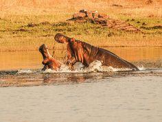 Mvuu Lodge hippo fight