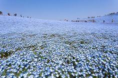 nemophiles incroyables champs de fleurs bleues seaside hitachi park 2   les incroyables champs de fleurs bleues du parc Hitachi   photo nemo...