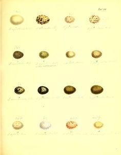 Systematische Darstellung der Fortpflanzung der Vögel Europa's mit Abbildung der Eier, - Biodiversity Heritage Library