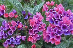 Pulmonaria or lungwort welcomes spring with its cheerful flowers in the shade garden. Beautiful foliage too on deer-proof perennial