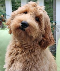 Lybon the Goldendoodle, LOVIN' THAT FACE!!!