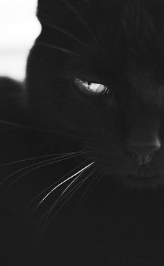 black cat - black cat ` black cat tattoo ` black cat art ` black cat aesthetic ` black cat marvel ` black cat drawing ` black cat wallpaper ` black cat names Cute Baby Animals, Animals And Pets, Funny Animals, Beautiful Cats, Animals Beautiful, Photo Chat, Tier Fotos, Warrior Cats, Cat Breeds
