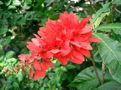 Trinidad and Tobago / Trinidad y Tobago:  chaconia, wild poinsettia, pride of Trinidad and Tobago / chaconia, ponsetia silvestre, orgullo de Trinidad y Tobago (Warszewiczia coccinea)  http://en.wikipedia.org/wiki/Chaconia  http://es.wikipedia.org/wiki/Warszewiczia_coccinea