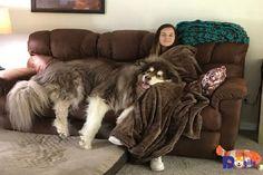 Chó Alaska giant giá bao nhiêu? Địa chỉ mua bán chó giant Alaska malamute tphcm, hà nội? Giant Malamute, Malamute Dog, Alaskan Malamute, Cute Puppies, Dogs And Puppies, Animal Sleeve Tattoo, D Is For Dog, Huge Dogs, Cute Funny Animals