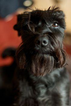 Awl so cute, looks like my dog roxy! Gotta love miniature schnauzers! :)