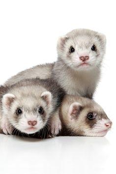 Ferret triplets