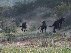 Scottish Deerhounds/Lurchers