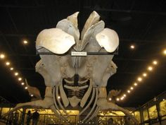 Humpback Whale Skeleton from the Museum of Osteology in Oklahoma City